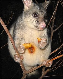 How to sex a ringtail possum